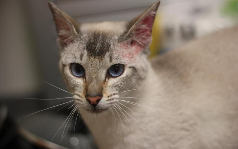 Siamese Cats For Adoption In Nh